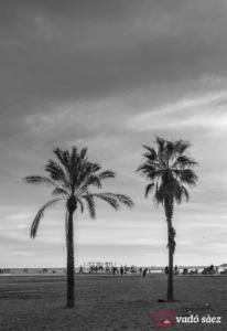 Palmeres bessones a la platja de la Barceloneta
